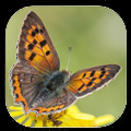 Gardensafari Moths and Butterflies app for iPhone