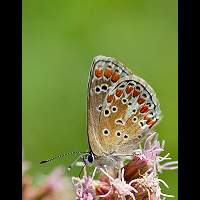 photograph of Brown Argus