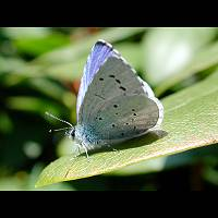 photograph of Holly Blue