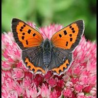 photograph of Lycaena phlaeas