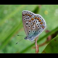 photograph of Common Blue