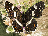 photograph of Araschnia levana, Map butterfly