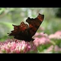 photograph of the Comma