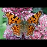 Photograph Polygonia c-album