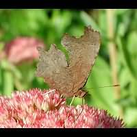 photograph of Comma Butterfly