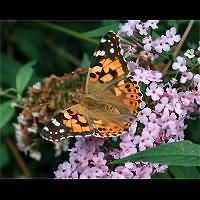 photograph of Painted Lady