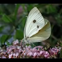 photograph of Large White