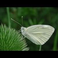 foto Pieris rapae