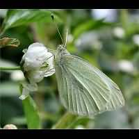 photograph of Small White