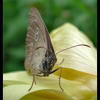 photograph of Ringlet