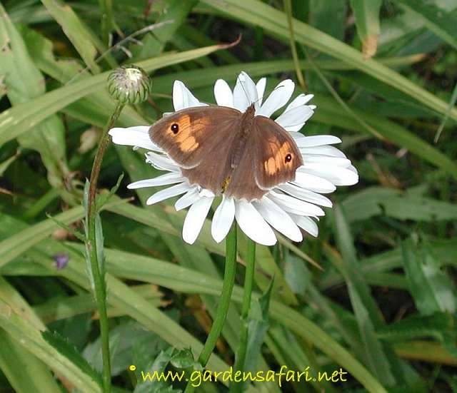 photograph of Meadow Brown
