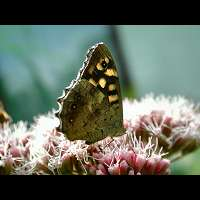 photograph of Speckled Wood