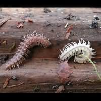 photograph Flat-backed Millipede