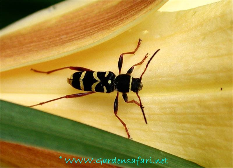 A continental. Gardensafari Longhorn Beetles  with lots of pictures