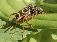 picture of Wasp Beetle, Clytus arietis