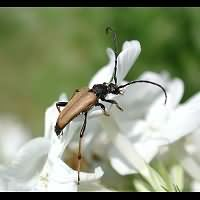 Photograph of a longhorn beetle