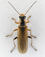 photograph Cantharis decipiens