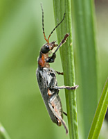 photograph of Soldier Beetle (Cantharis fusca)