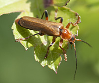 photograph of Soldier Beetle (Cantharis livida)