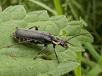 photograph of Soldier Beetle (Cantharis obscura)