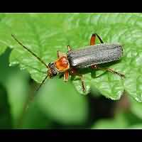 photograph of Soldier Beetle (Cantharis pellucida)