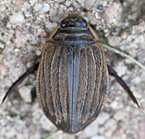 photograph of Grooved Diving Beetle, Acilius sulcatus, Lesser Diving Beetle