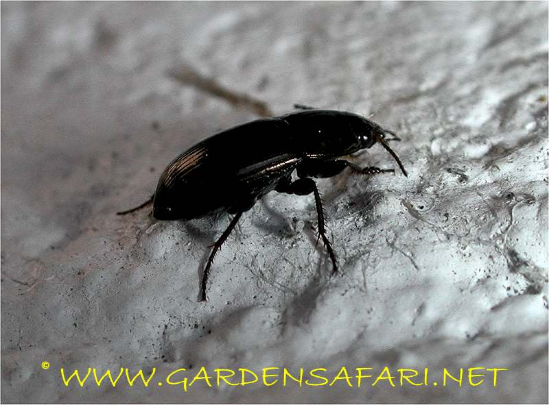 Another black ground beetle regularly found in. Gardensafari Big Beetles and other insects  with lots of pictures