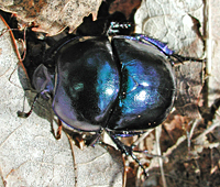 photograph of Geotrupes stercorarius