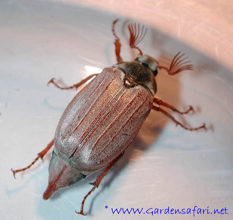 Photograph of a chafer. Gardensafari Beetles and other insects  with many detailed pictures