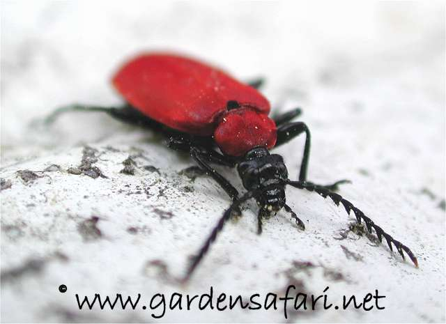 Pyrochroa coccinea Pyrochroa coccinea. Gardensafari Big Beetles and other insects  with lots of pictures