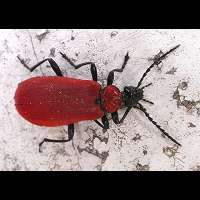 Black-headed Cardinal Beetle