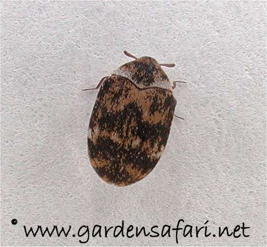 Gardensafari Woodworms And Other Small Beetles (with Lots