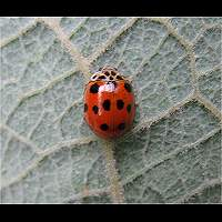 Ten-spotted Ladybird