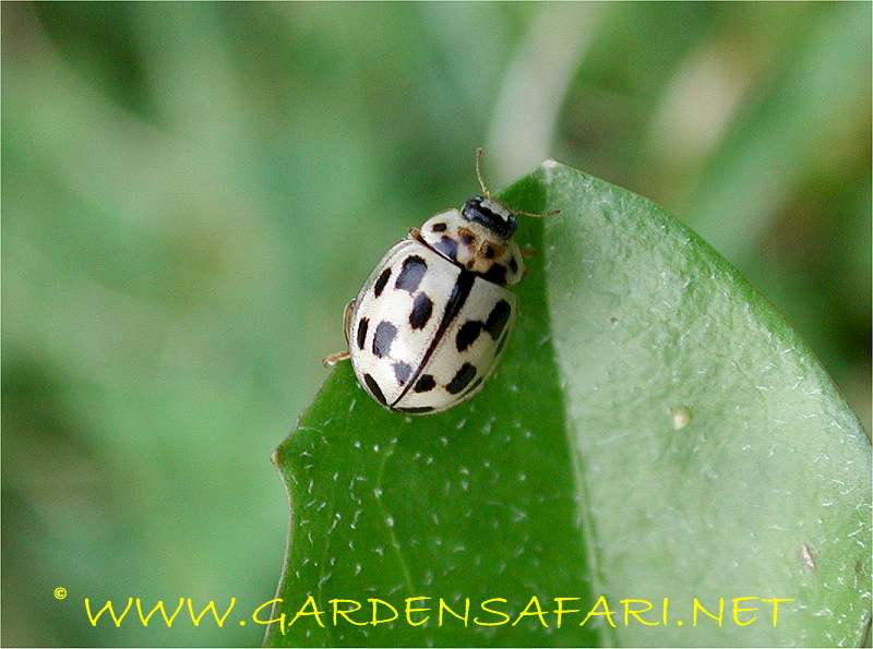 Gardensafari Lady Beetles (Coccinellidae) with lots of pictures