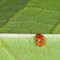 24-spotted Lady Beetle