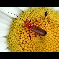 Photograph of a soldier beetle