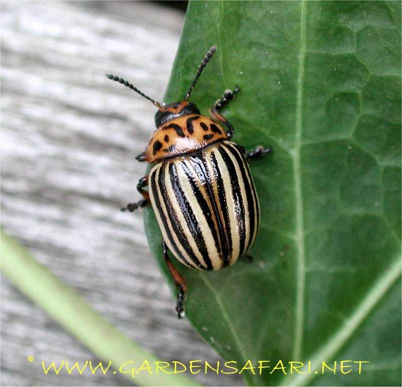 Photograph of a leaf beetle. Gardensafari Beetles and other insects  with many detailed pictures