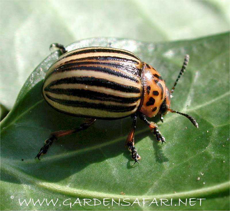 Gardensafari Picture Page About The Colourado Potato Beetle