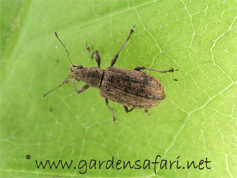 Another Polydrusus. Gardensafari Beetles And Other Insects  with lots of pictures