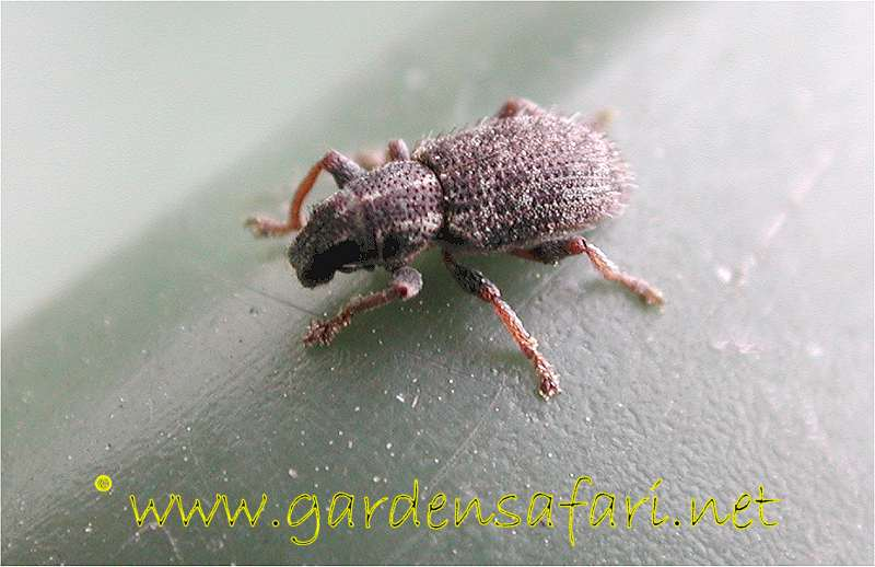 Gardensafari Picture Page About The Clover Weevil