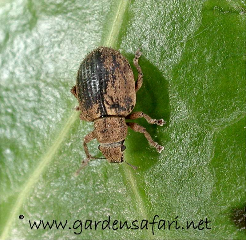 Gardensafari Beetles And Other Insects (with lots of pictures)