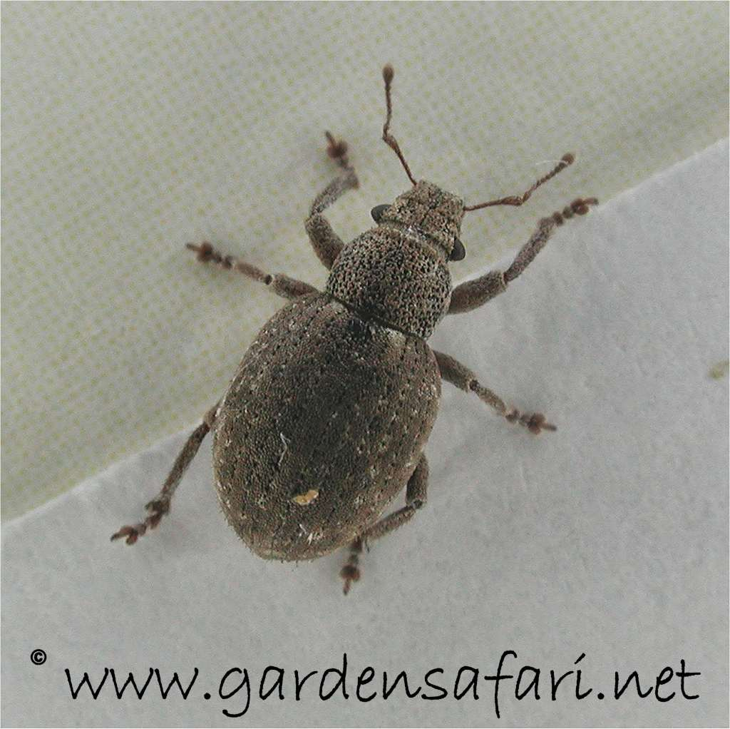 Gray Bug On Bed : Related keywords suggestions for house bugs