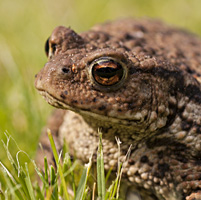 photograph of common toad, bufo bufo
