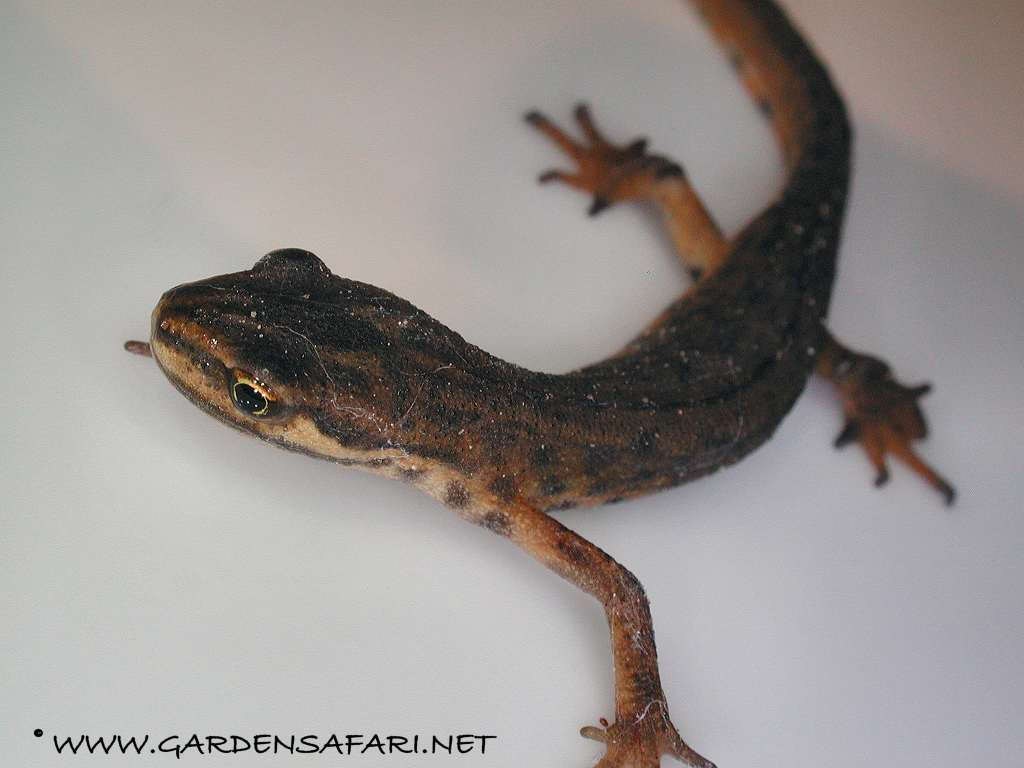 Gardensafari Frogs, Toads and Newts (Amphibia) with lots of pictures