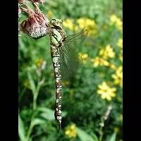 picture Southern Hawker