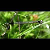 Photograph of Coenagrion puella, male