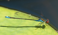 Photograph of Ischnura elegans