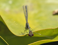 photograph of Small Red-eyed damselfly, Erythromma viridulum