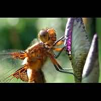 picture Broad-bodied Chaser