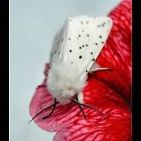 photograph of the White Ermine